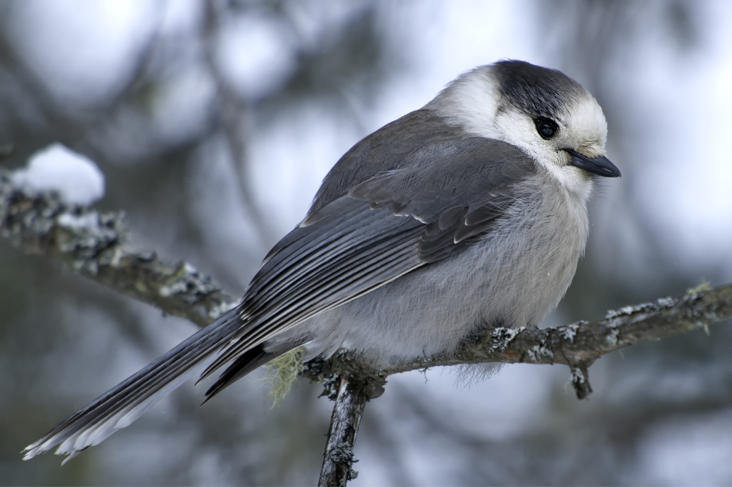 Canada's unofficial bird, the Grey Jay
